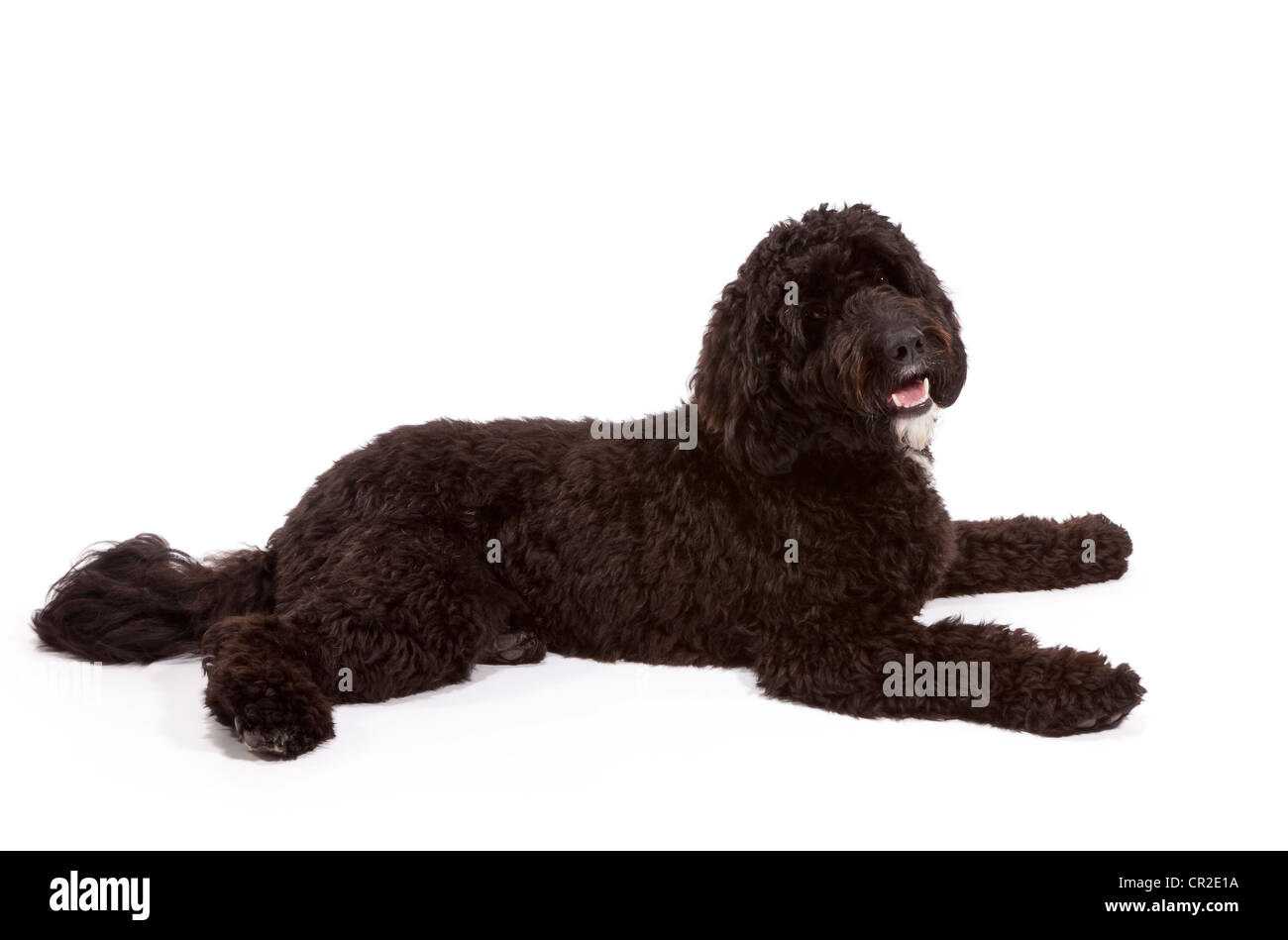 Cockerpoo (Cocker Spaniel Poodle Cross) male dog at 1 year old - Stock Image
