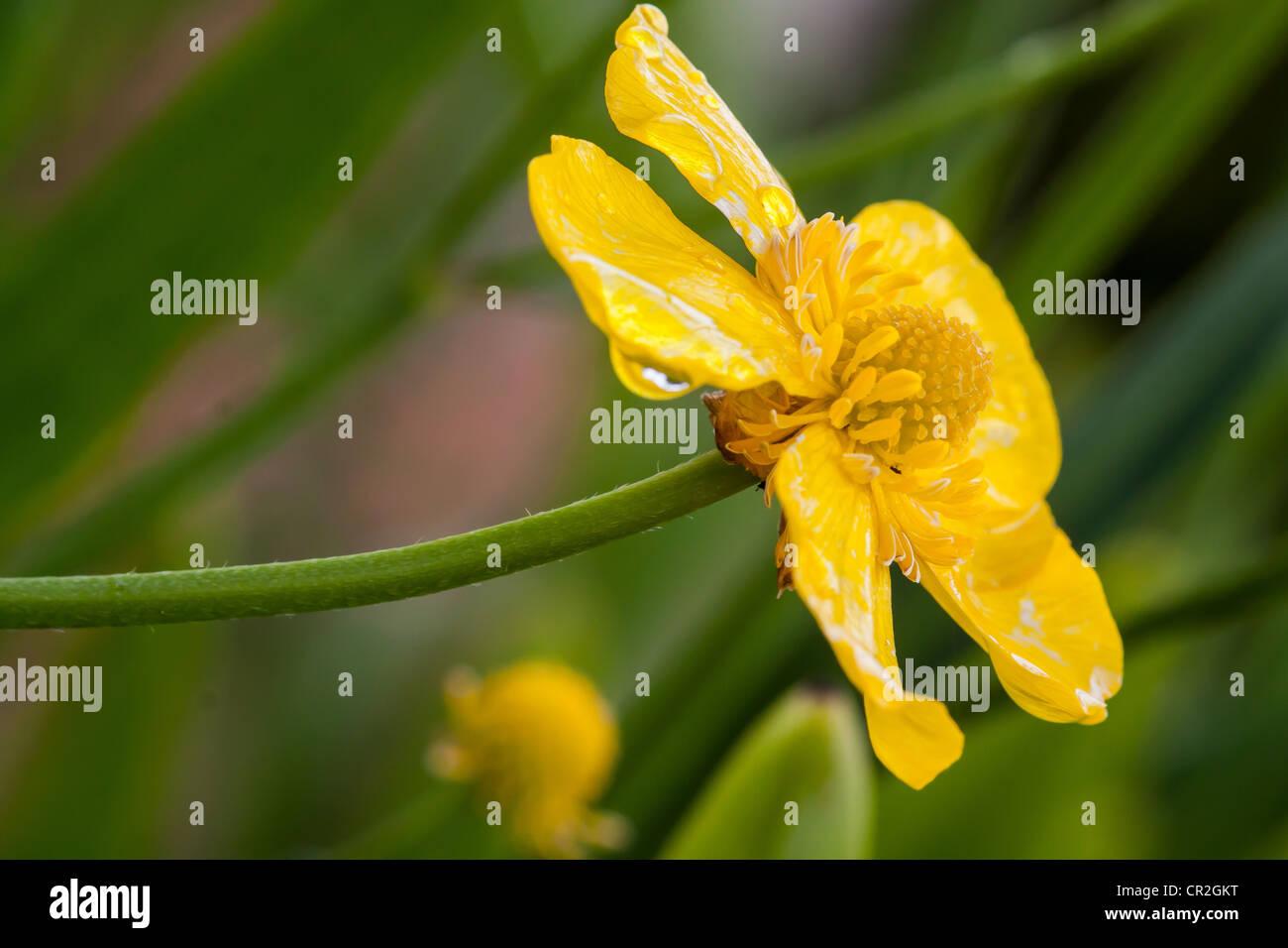 Greater Spearwort Ranunculus lingua Ranunculaceae - Stock Image