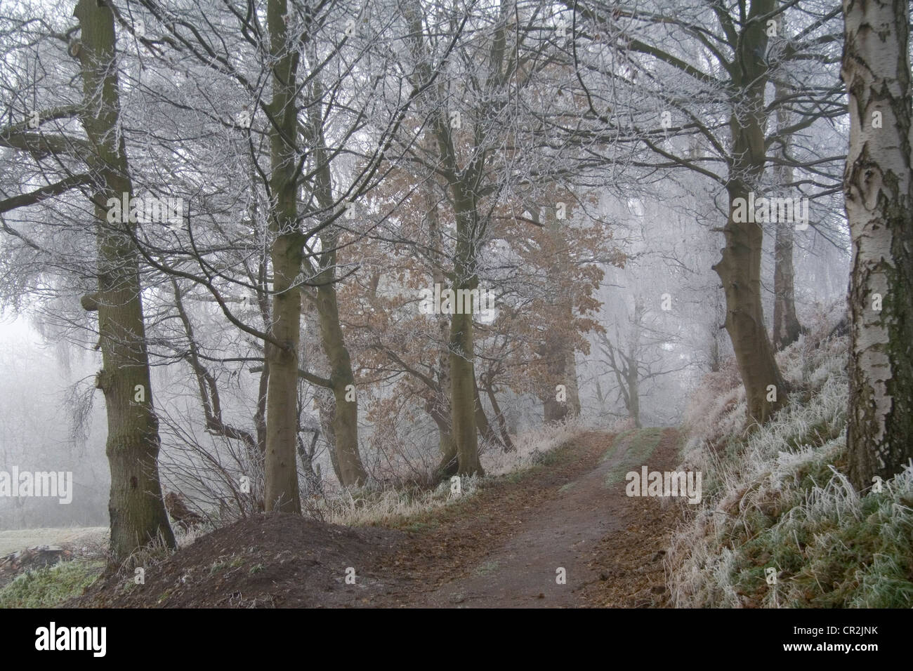 Winter Scene in Cheshire Forest Path - Stock Image