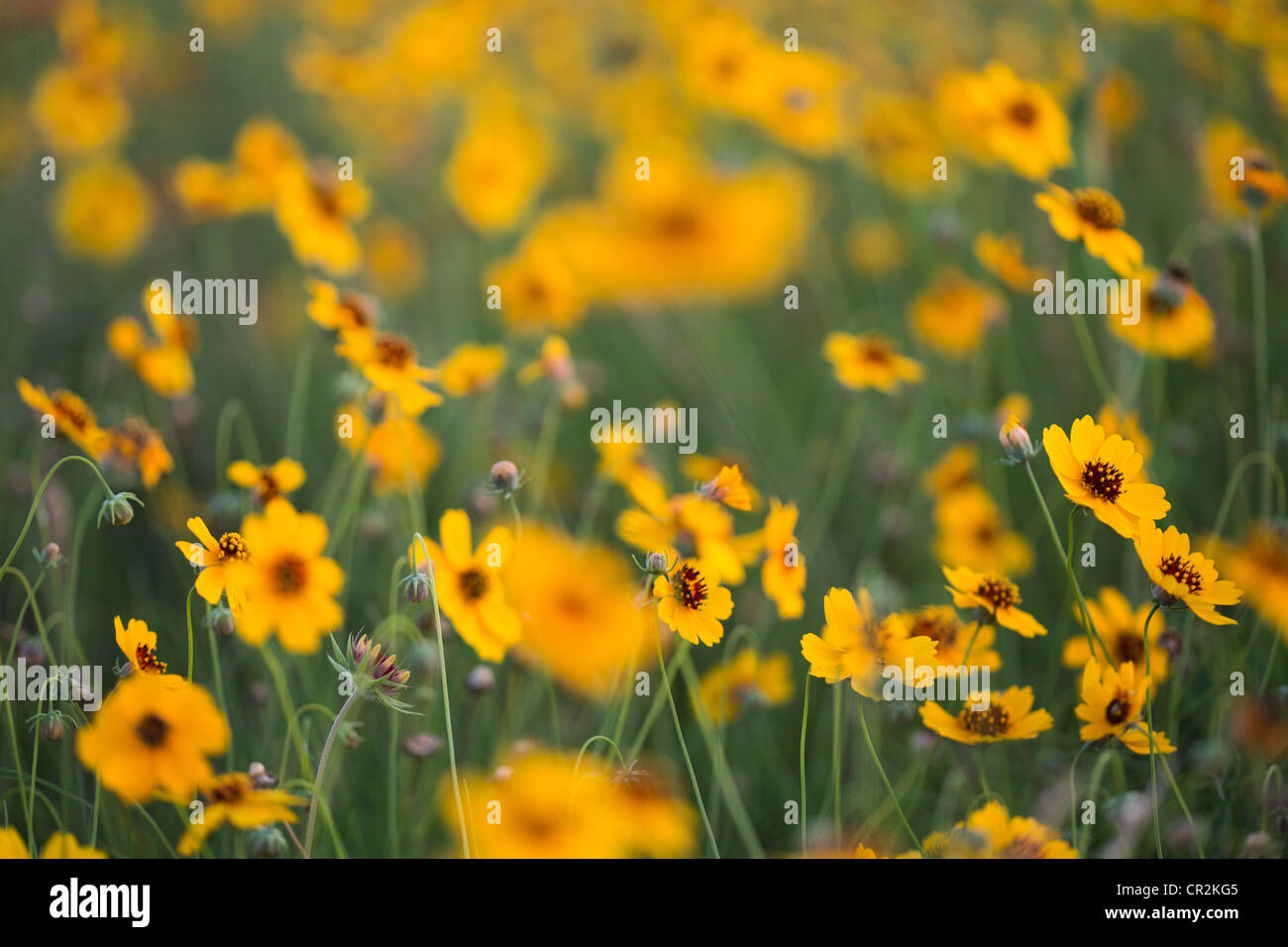 A Field Of Yellow Tickseed Sunflowers In Austin Texas Stock Photo