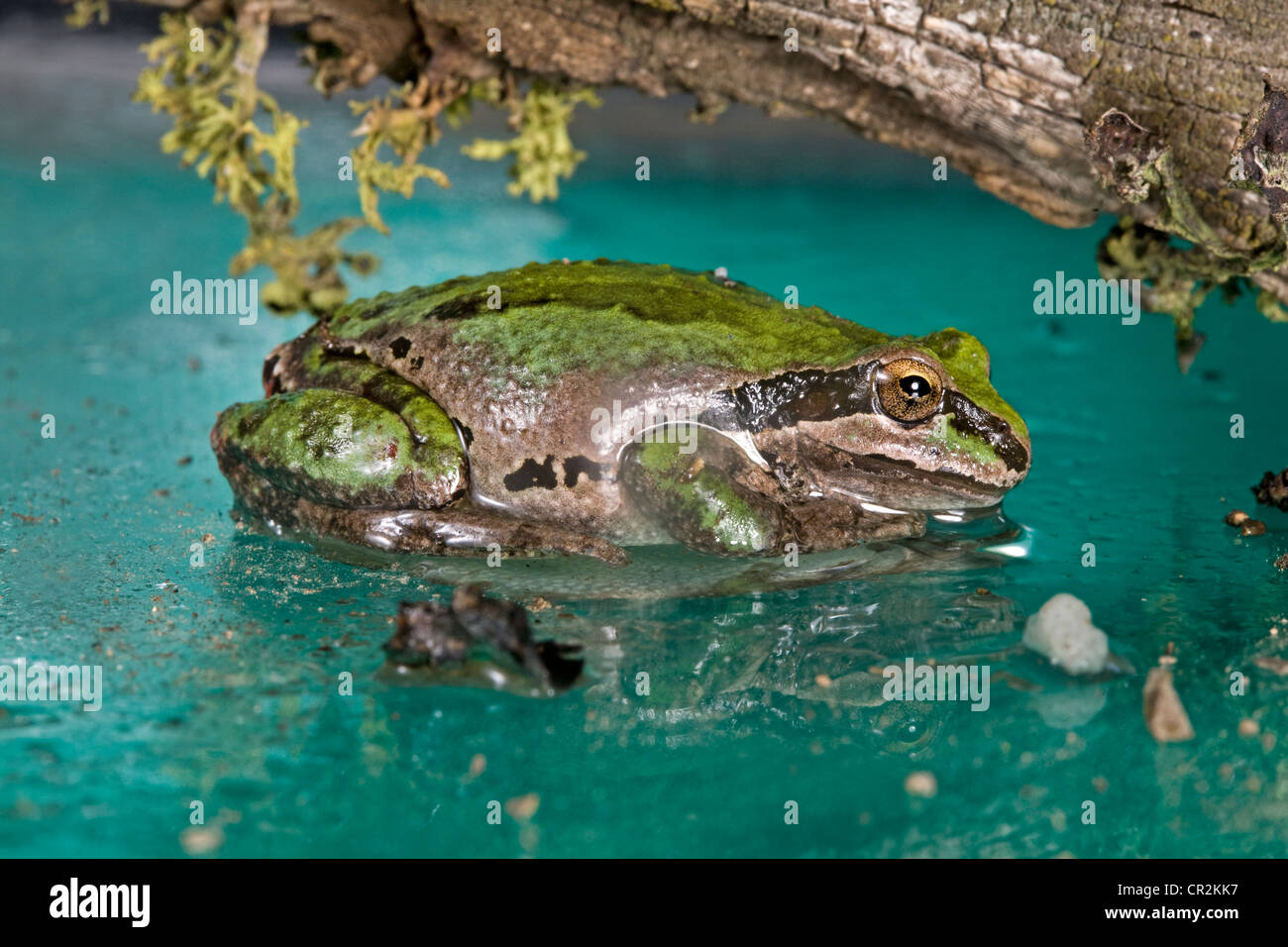 Pacific Tree Frog, Pseudacris regilla - Stock Image