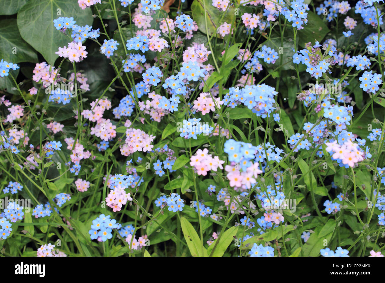 Pink and blue forgot-me-knots. English garden UK. - Stock Image