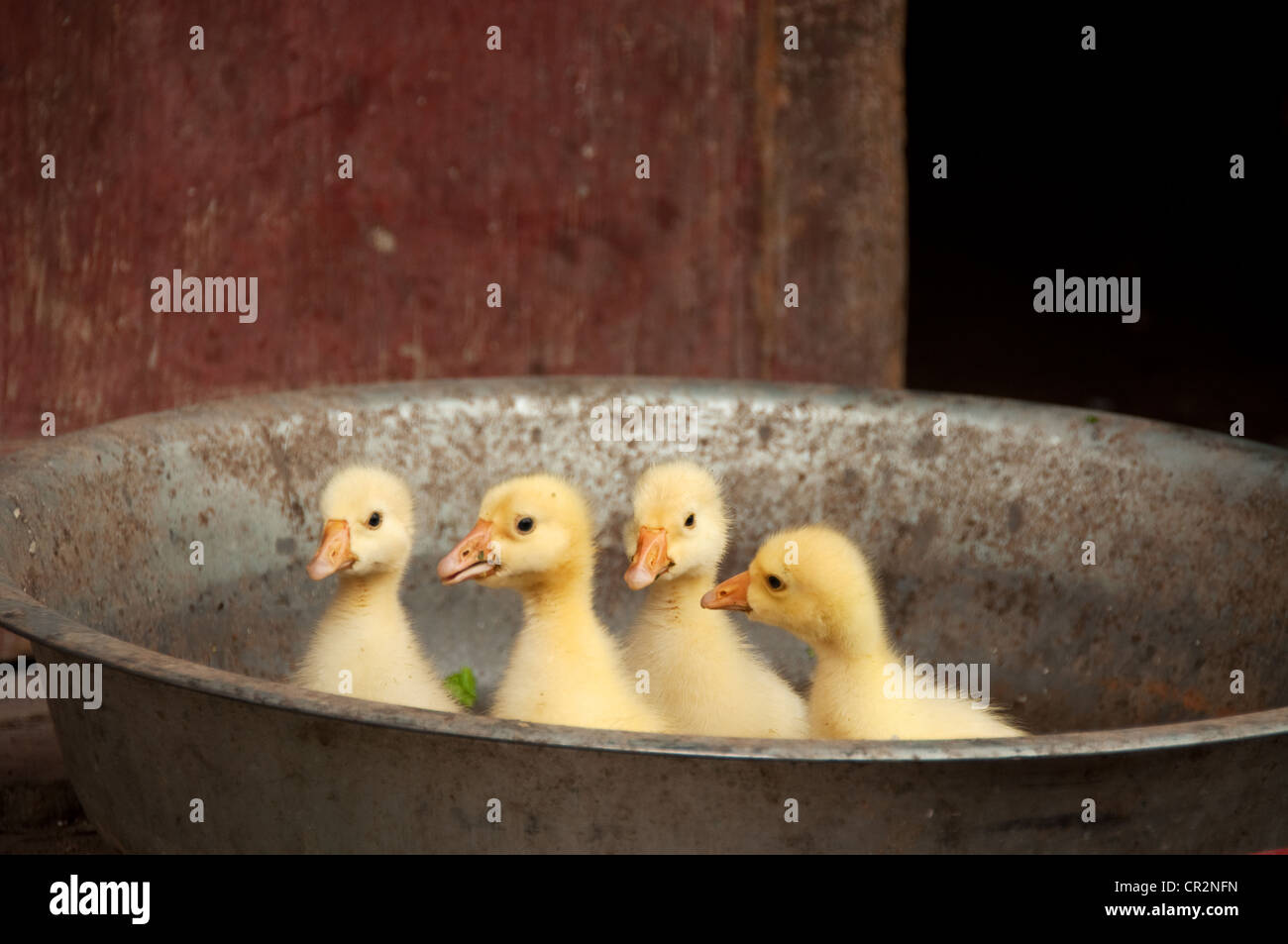 Yellow Ducklings Stock Photos & Yellow Ducklings Stock Images - Alamy