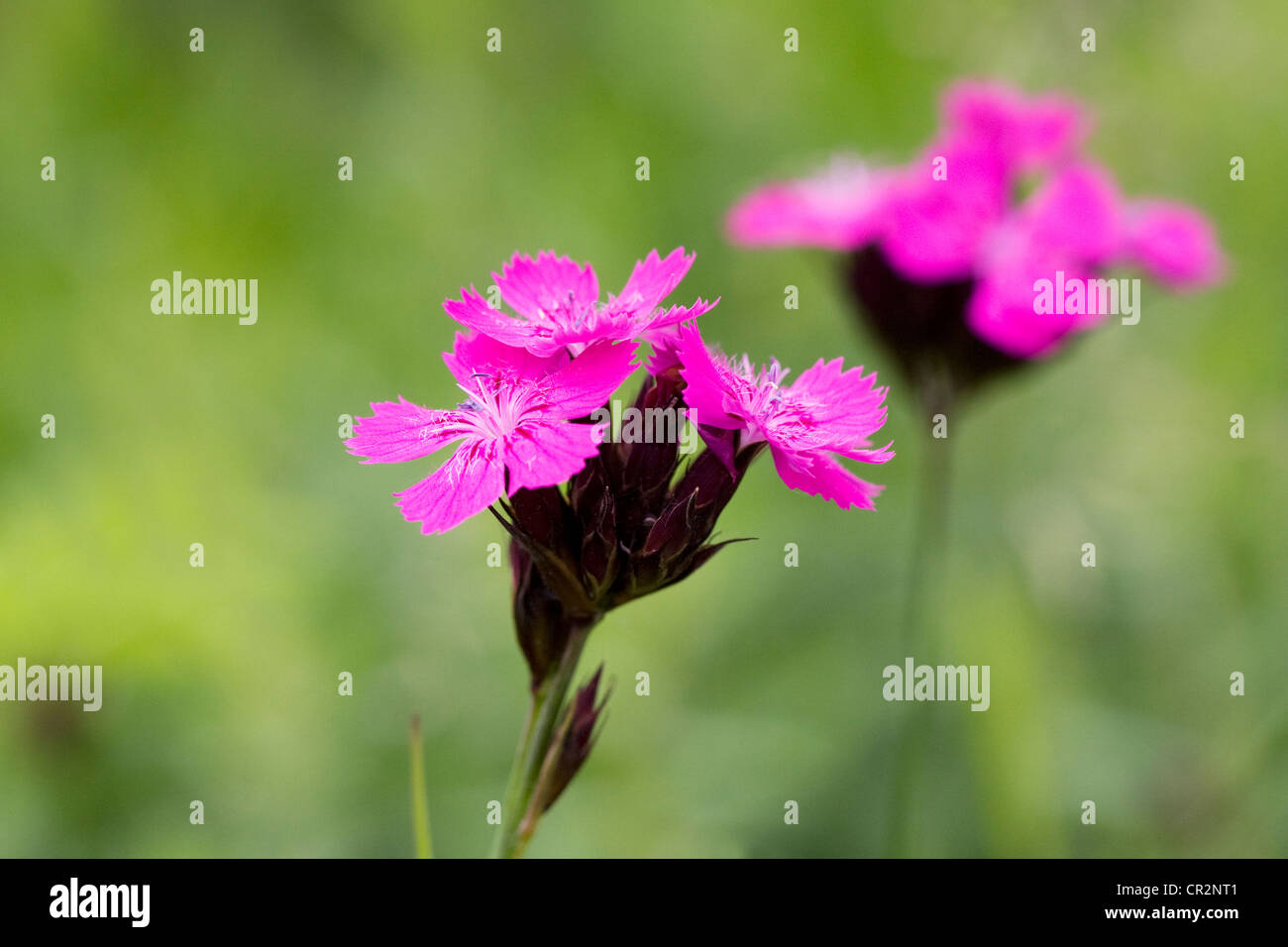 Dianthus carthusianorum growing in a wild flower meadow. Stock Photo