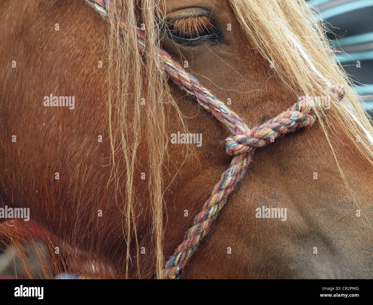 Bay horse with long mane framing eye & multicoloured woven halter at the famous annual travellers' gathering - Stock Image