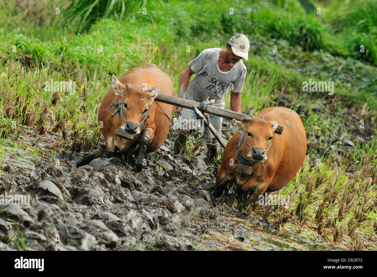 Cows jobs in the Tirtaganggaa rice terraces, Bali, Indonesia, Asia - Stock Image