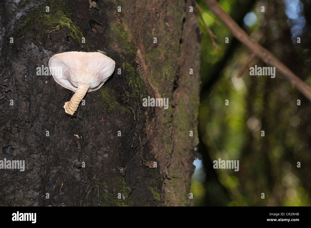 Parasitic fungus on side of living tree, Costa Rica - Stock Image