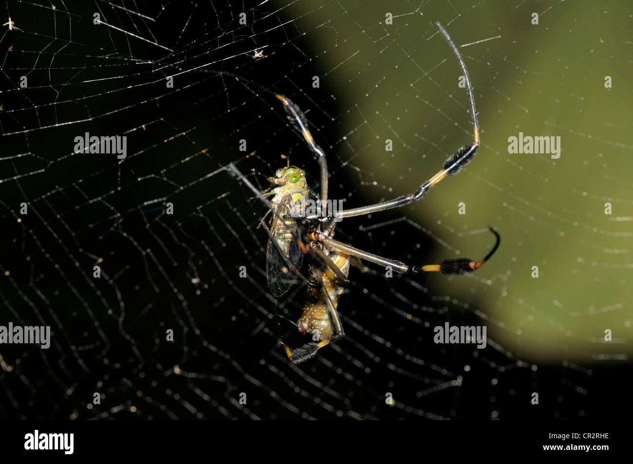 Golden orb-weaver with prey - Stock Image