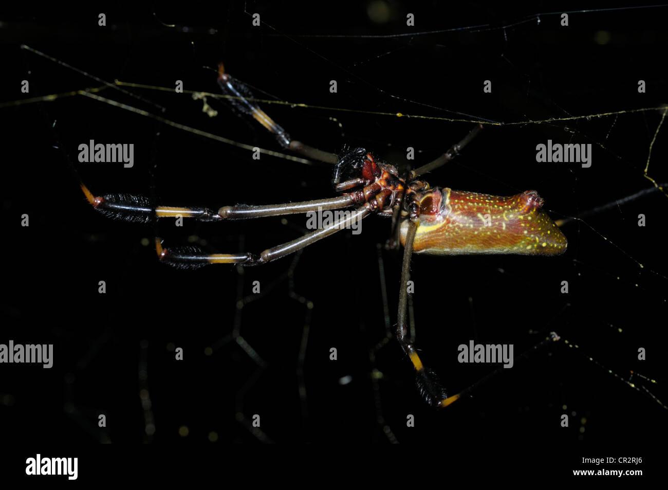 Golden orb-weaver, Nephila clavipes, female - Stock Image
