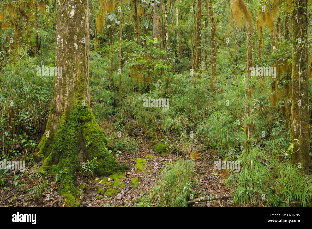 Tropical cloudforest with mosses, lichens and bamboo at 2,000m elevation, Cerro de la Muerte, Costa Rica - Stock Image