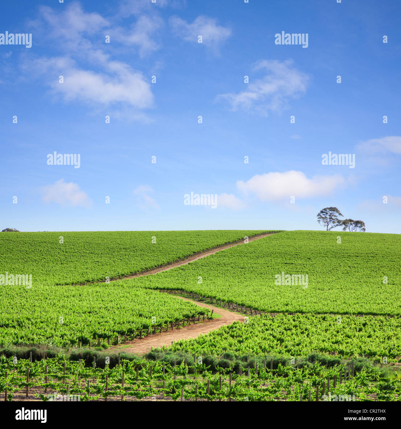 Vineyard in the Clare Valley, South Australia Stock Photo