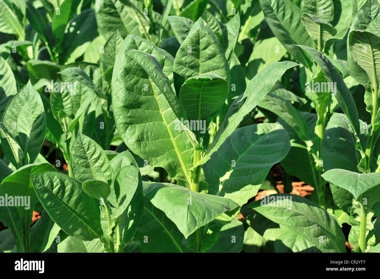 Tobacco plantation, tobacco leaves, Tobacco (Nicotiana), tobacco cultivation in the Valle de Vinales National Park, - Stock Image