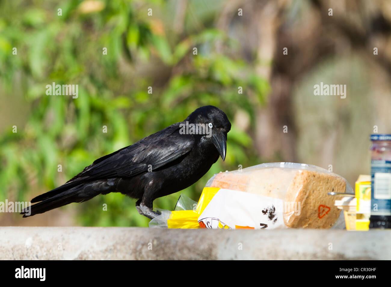 Australian raven (Corvus coronoides) stealing bread, Kakadu National Park, Northern Territory, Australia - Stock Image
