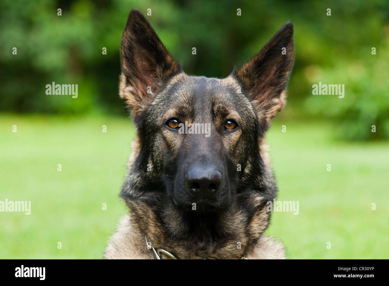 German shepherd dog, Alsatian, portrait - Stock Image