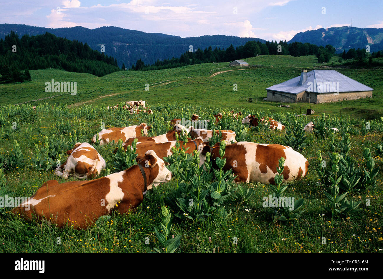 France, Jura, Foret du Massacre, cows of monbeliard breed (montbeliarde) in the mountain pastures in de middle of - Stock Image