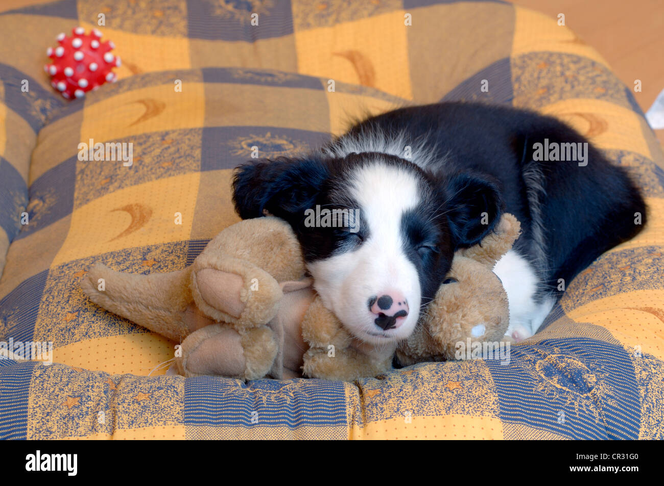 Border Collie, puppy, lying on a cuddly toy on a dog bed, asleep - Stock Image