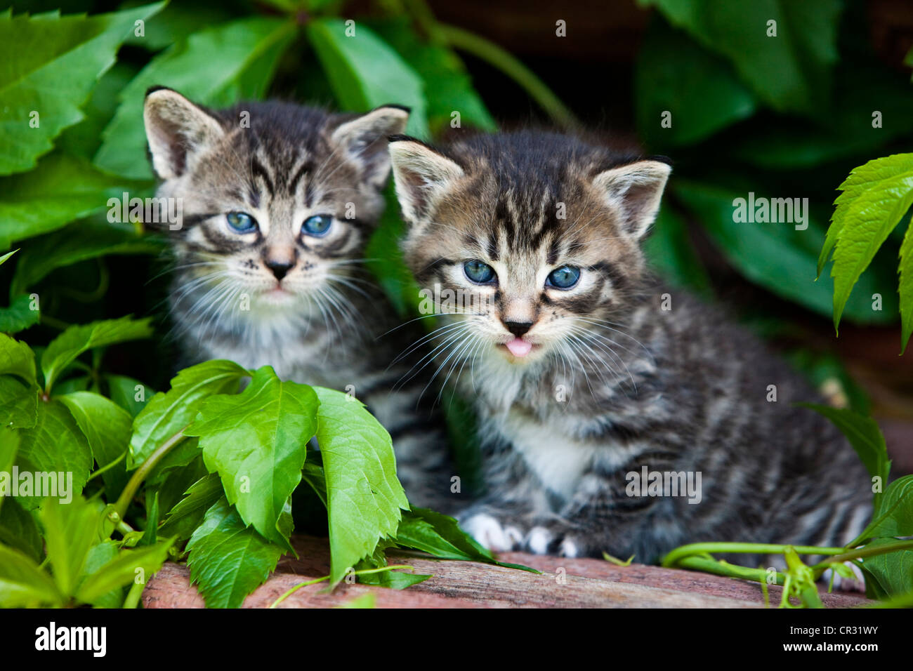 Two grey tabby domestic cats, kittens, North Tyrol, Austria, Europe - Stock Image