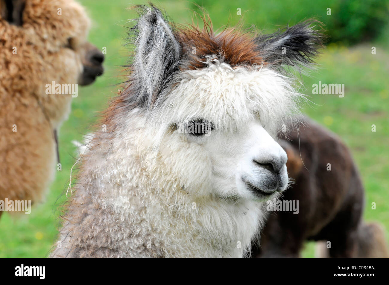 Alpacas (Lama pacos), alpaca breeding, Schwaebisch Gmuend, Baden-Wuerttemberg, Germany, Europe - Stock Image