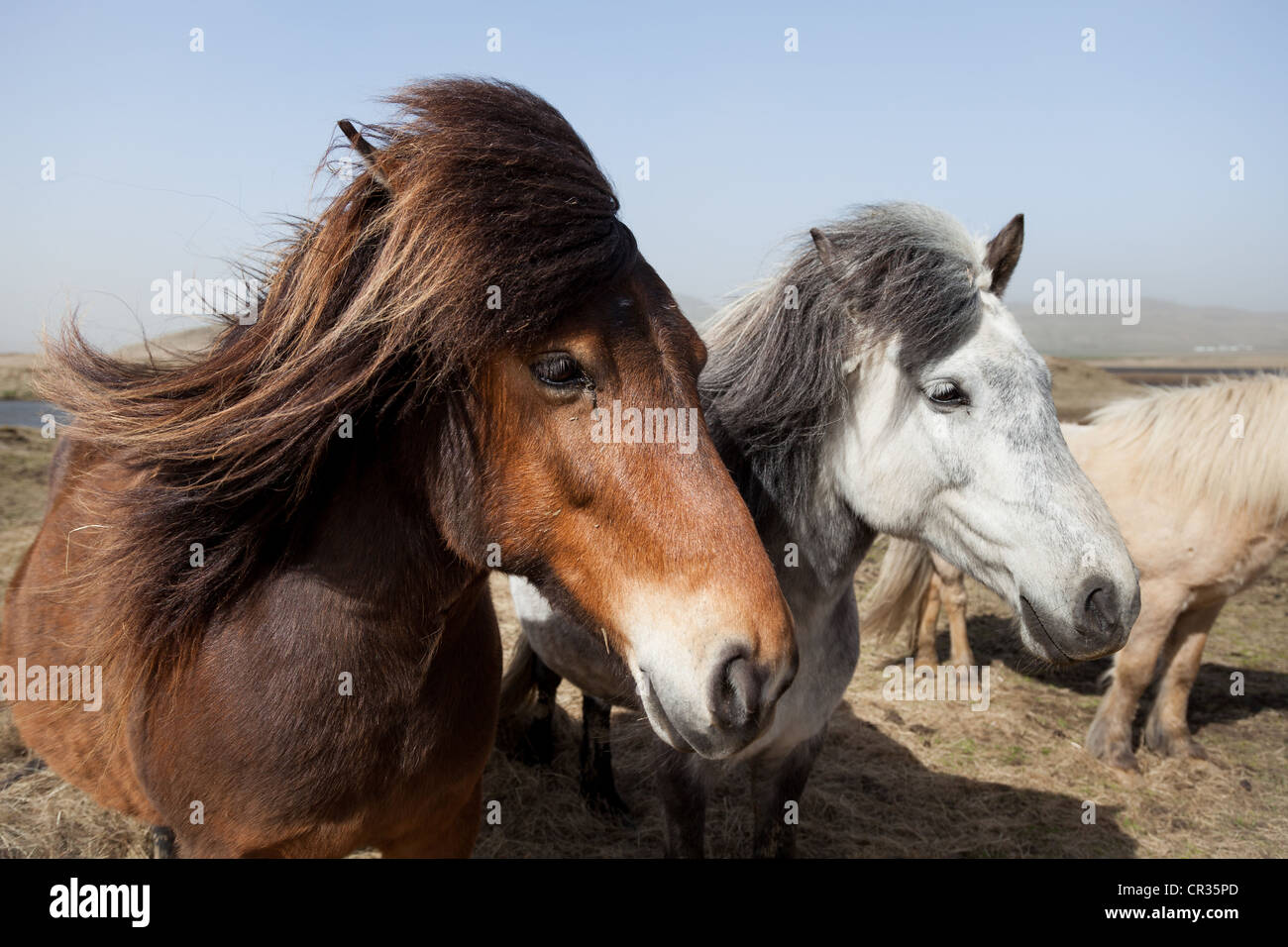 Brown and white Icelandic horses facing in the same direction in a field, Iceland, Scandinavia - Stock Image