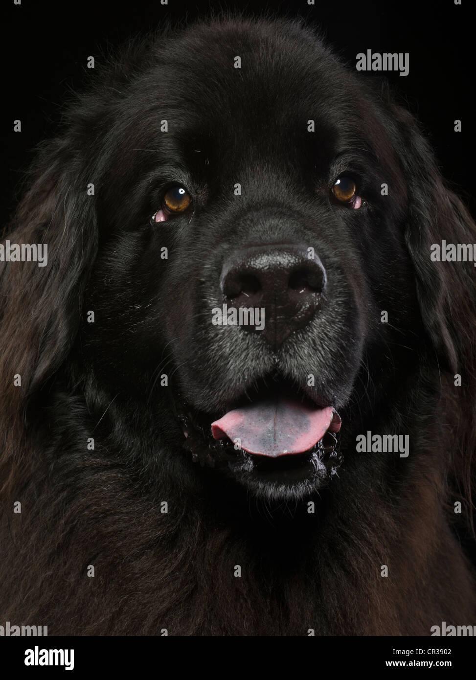 Newfoundland Dog portrait - Stock Image