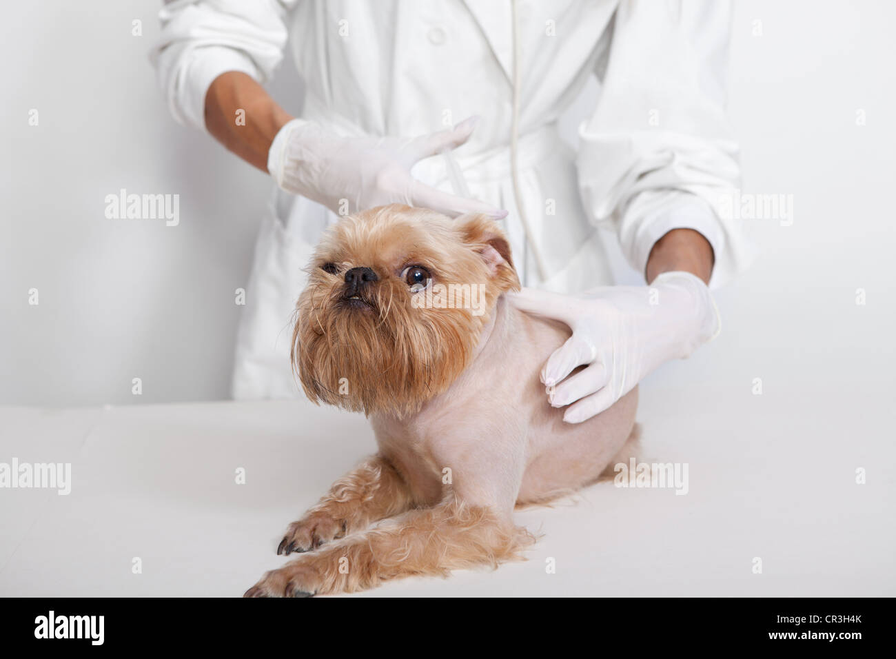 Veterinary doctor of doing an injection of dog breed Griffon Bruxellois - Stock Image
