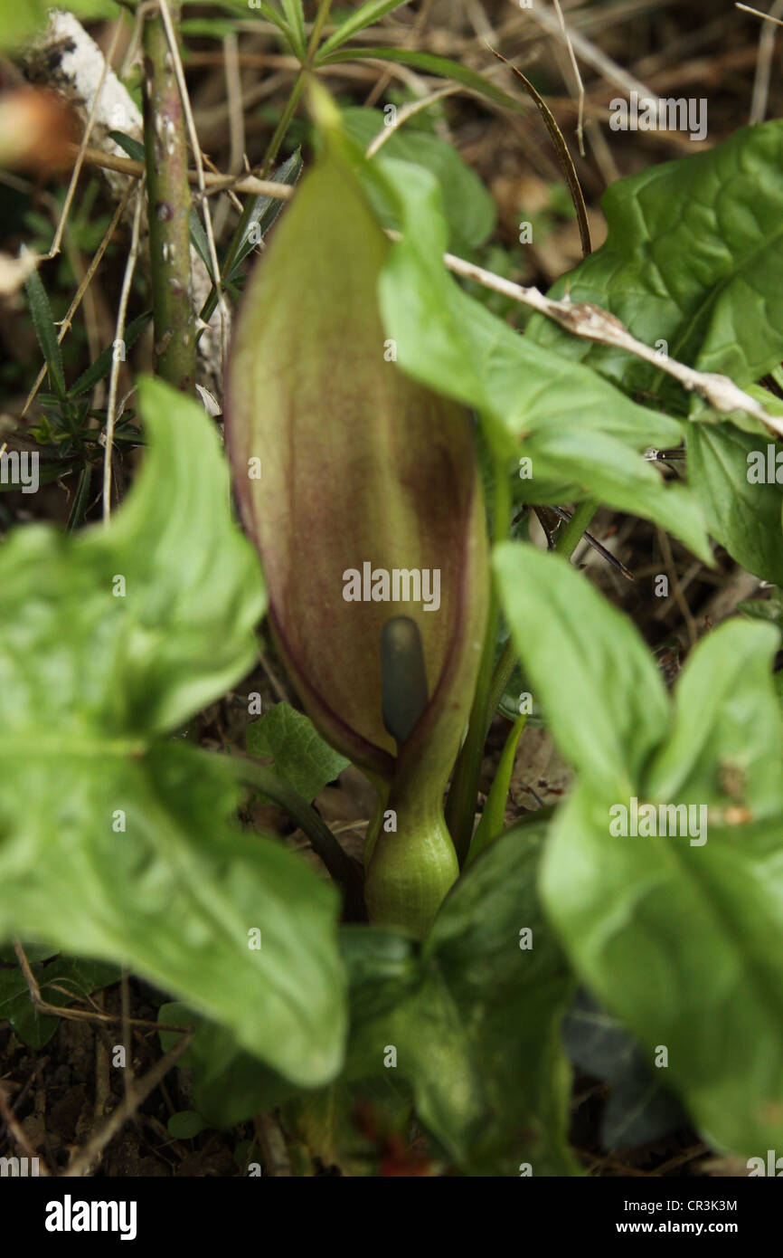 Lords and Ladies, Cuckoo Pint, Wild Arum Arum maculatum - Stock Image