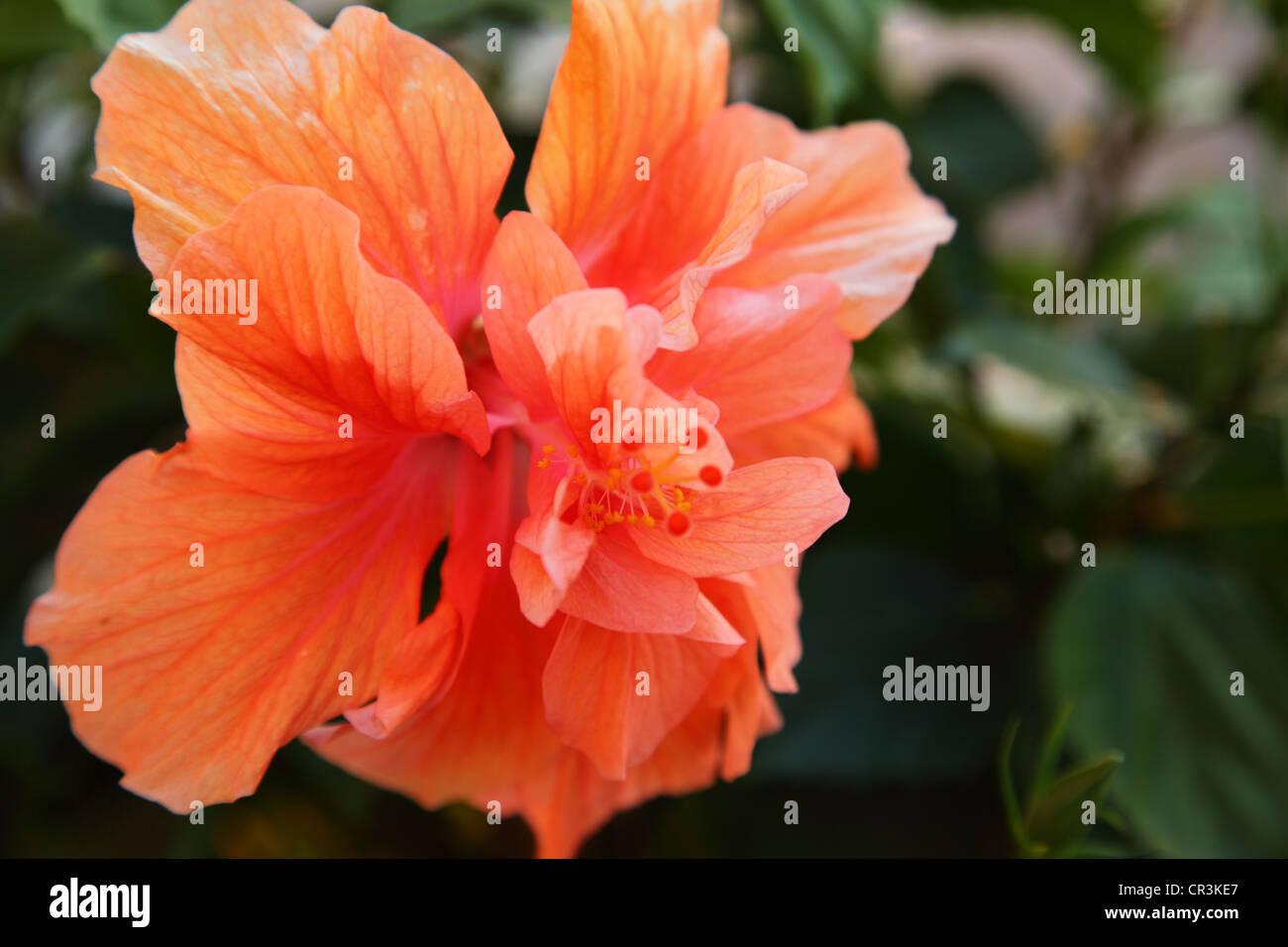 Sunset Hibiscus Stock Photos Sunset Hibiscus Stock Images Alamy