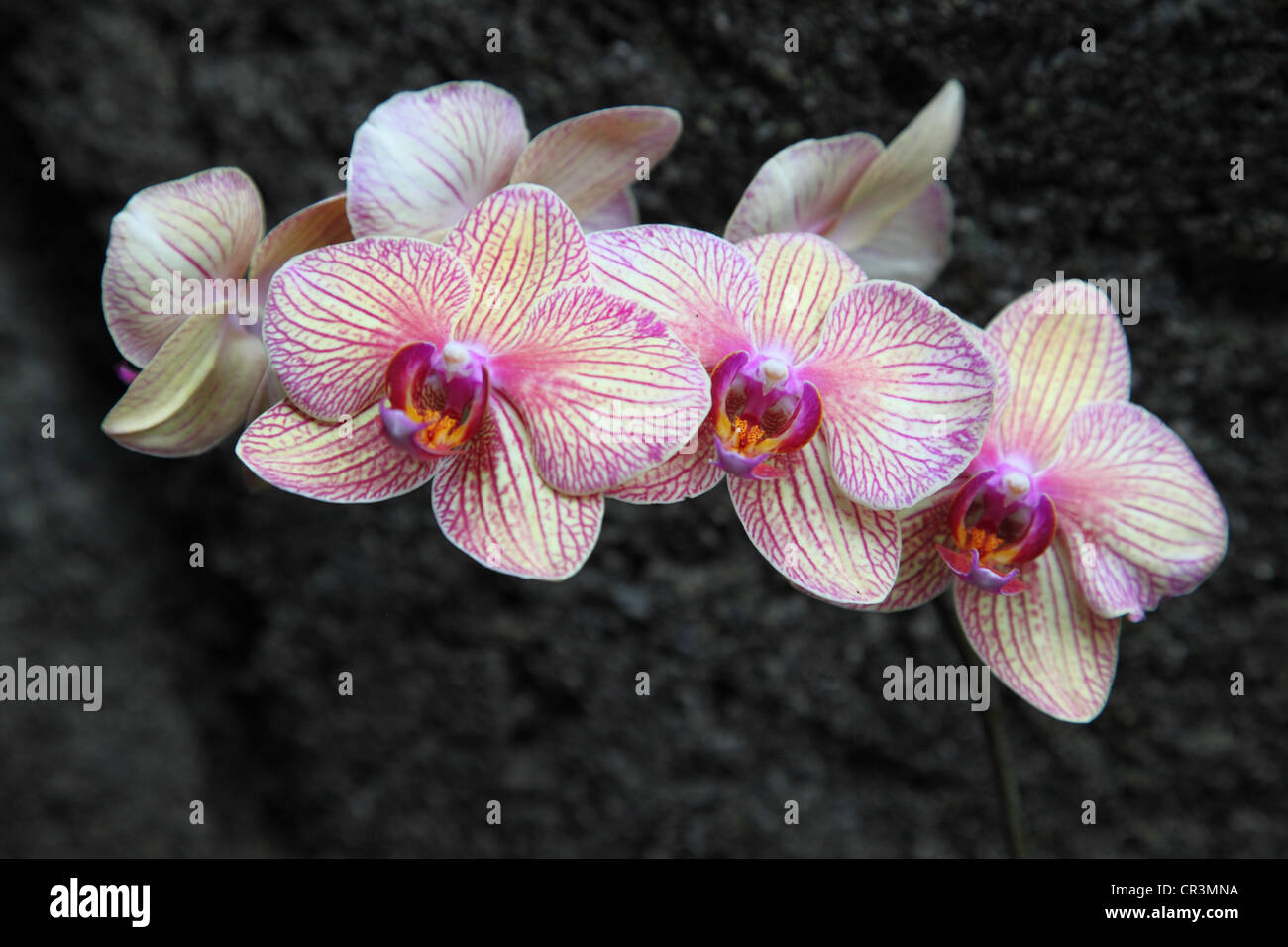 White and pink orchid - Stock Image