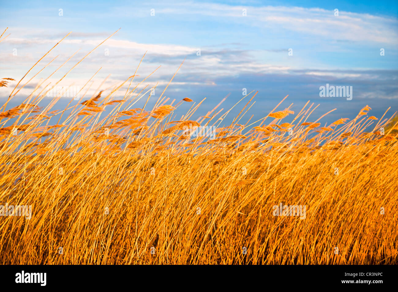 Reed, evening atmosphere, Hornborgasjoen, Lake Hornborga, Sweden, Europe - Stock Image