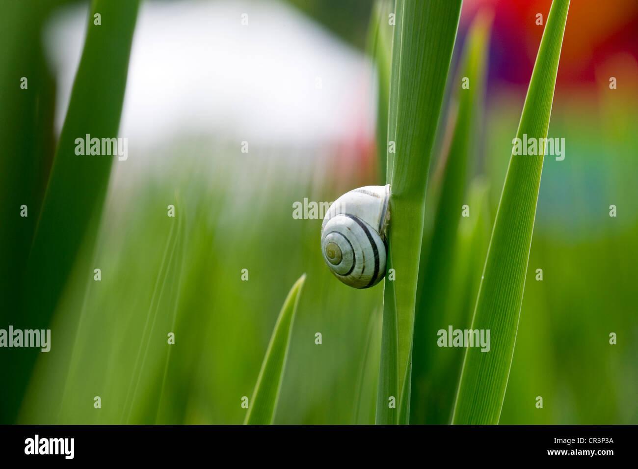 Cepaea snail on blade of reed - Stock Image