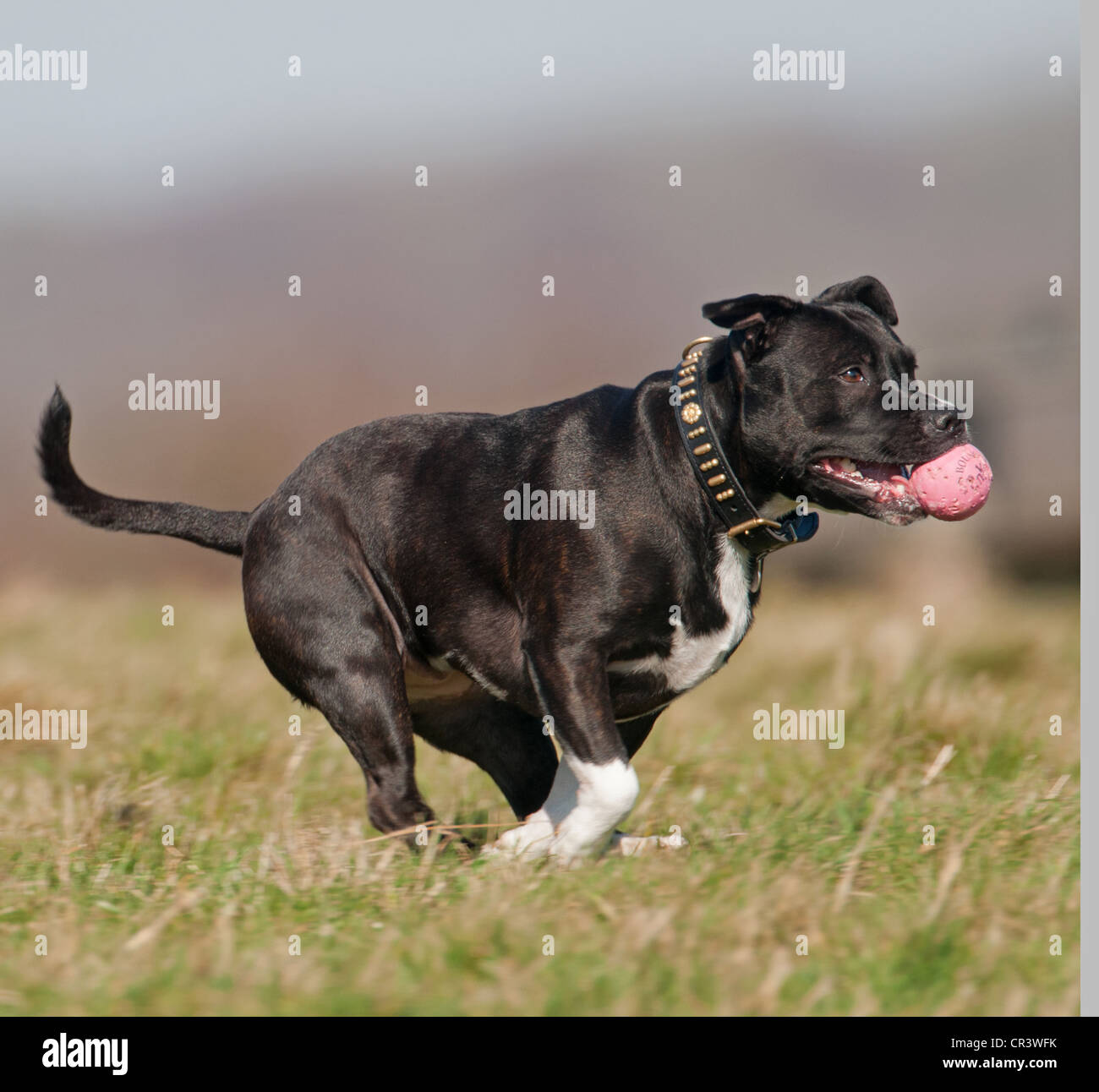 STAFFORDSHIRE BULL TERRIER DOG RUNNING WITH BALL IN ITS MOUTH.UK - Stock Image