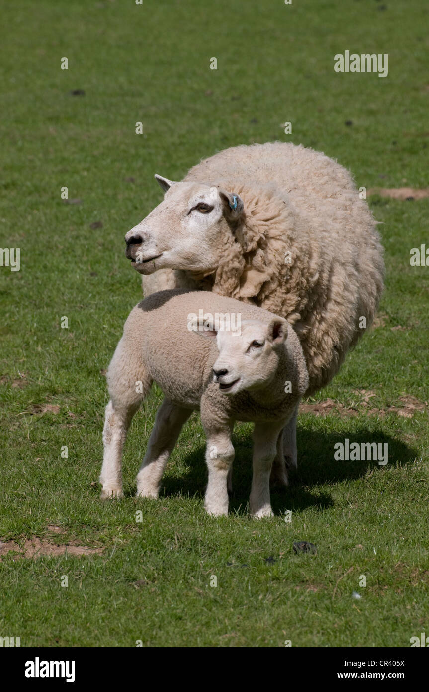 Ewe sheep with healthy lamb standing on green grass in spring sunshine in Derbyshire England - Stock Image