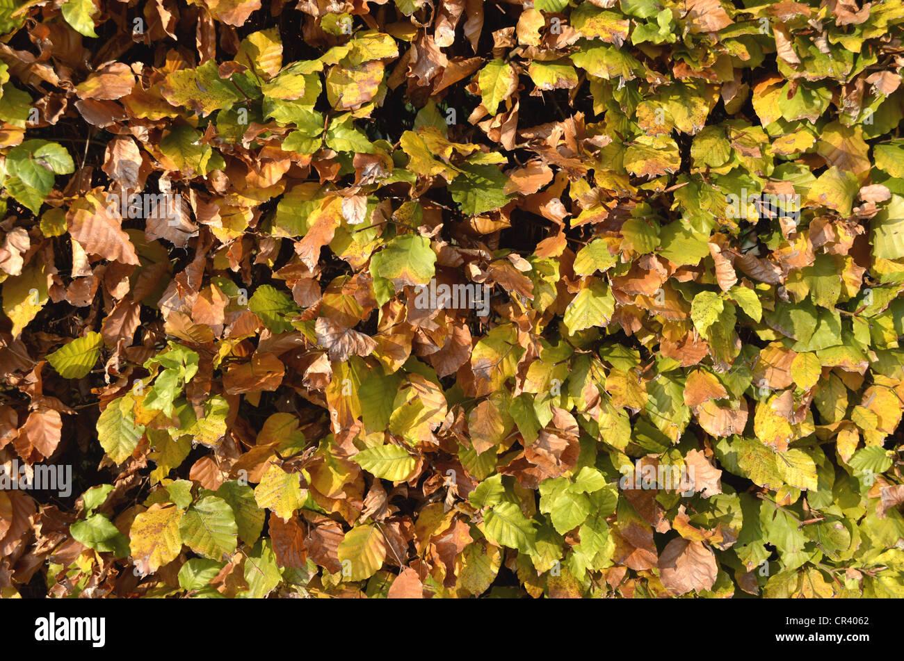 Autumnal beech hedge, European Beech or Common Beech (Fagus sylvatica), Borken, Muensterland, North Rhine-Westphalia Stock Photo