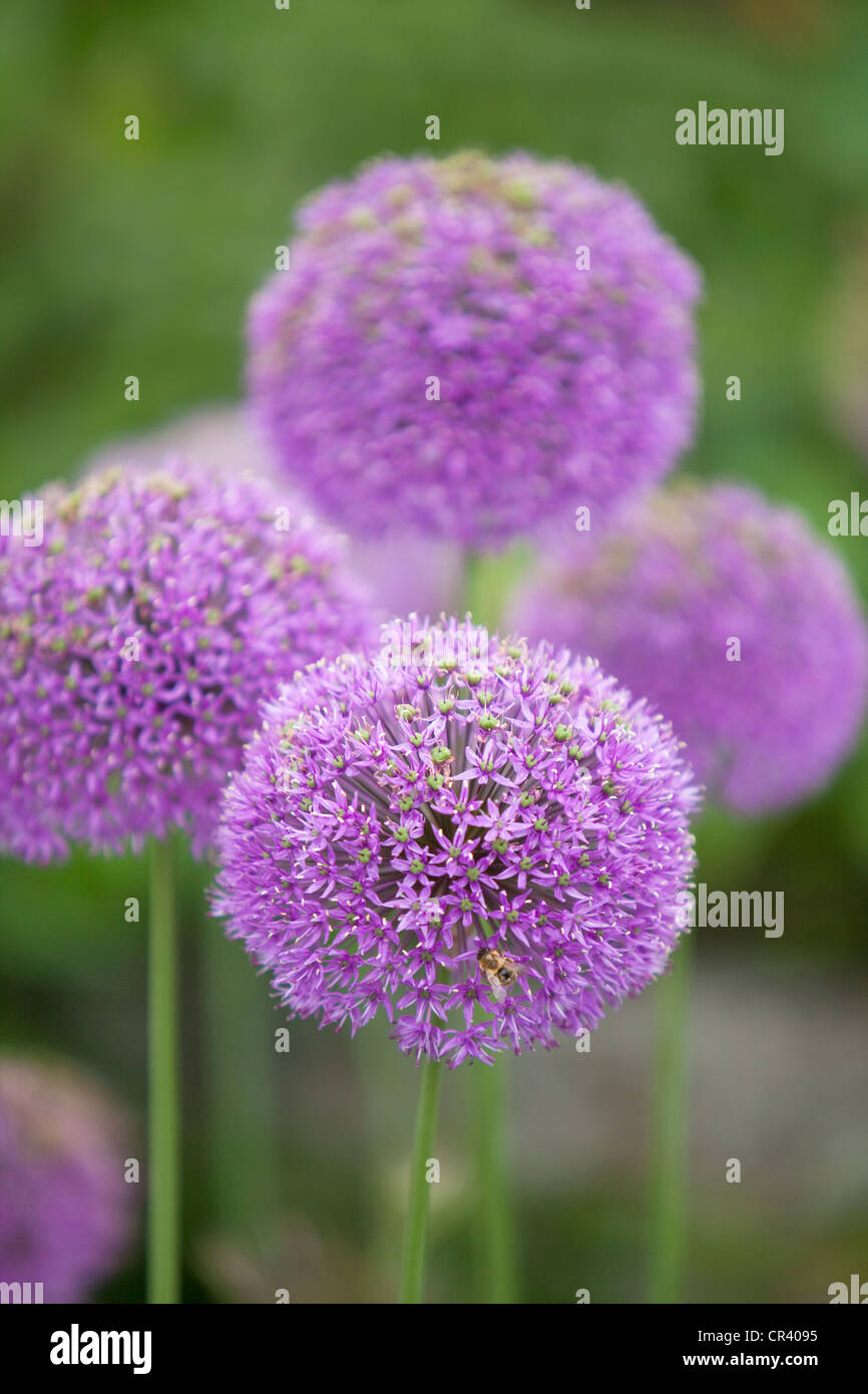 Alliums in garden border, England, UK - Stock Image