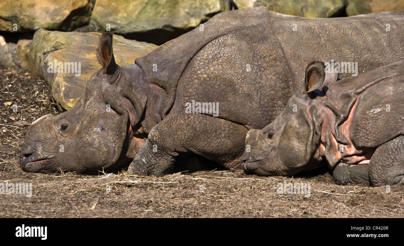 Indian Rhinoceros- mother and kid resting in he sun - Stock Image