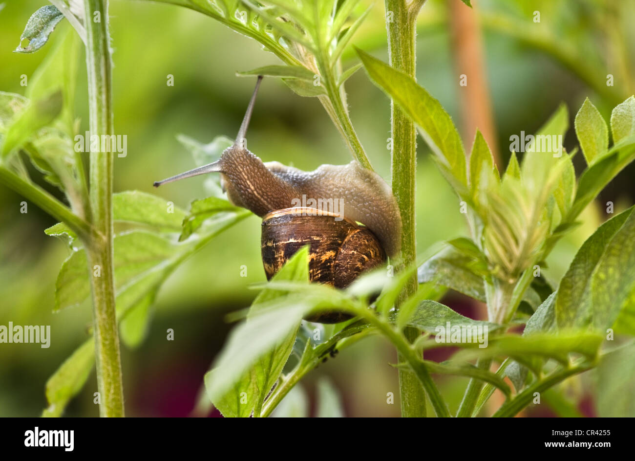 Snail eating from leaves and damaging a plant on early morning in spring - Stock Image