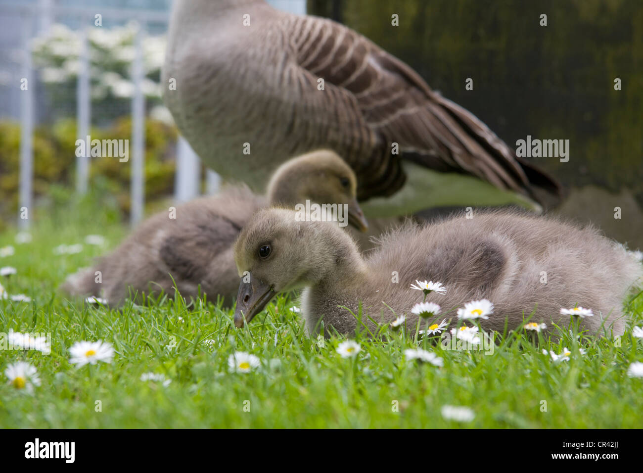 Goslings eating grass while watched over by parents Stock Photo