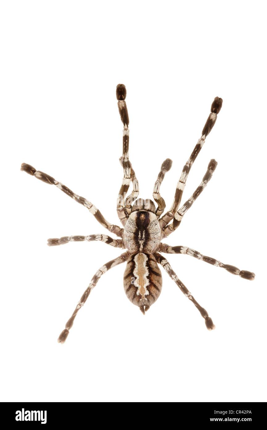 Fringed Ornamental Tarantula (Poecilotheria ornata) - Stock Image