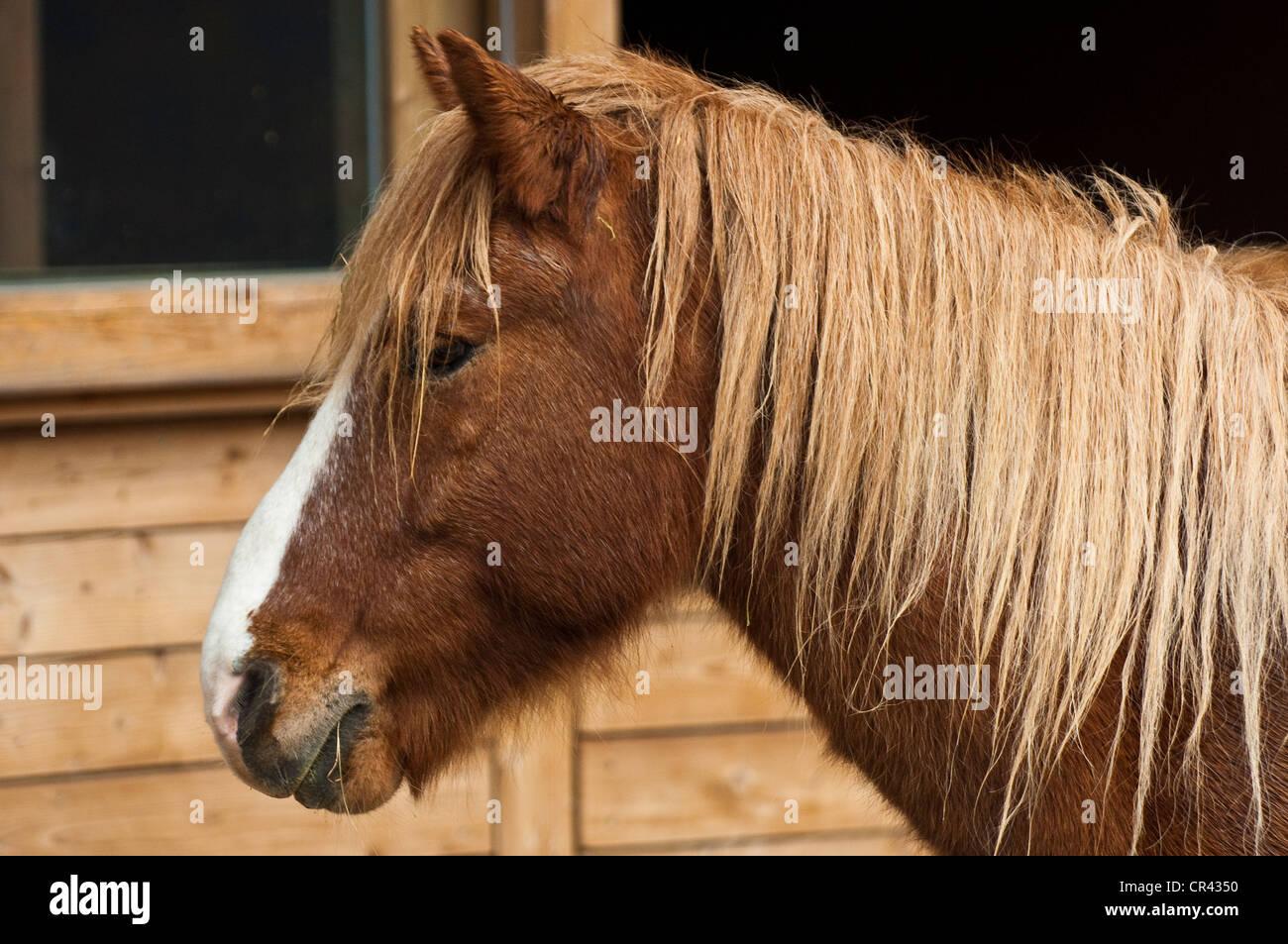 Austria, Vorarlberg, Sankt Gerold, draft horse bred Haflinger - Stock Image