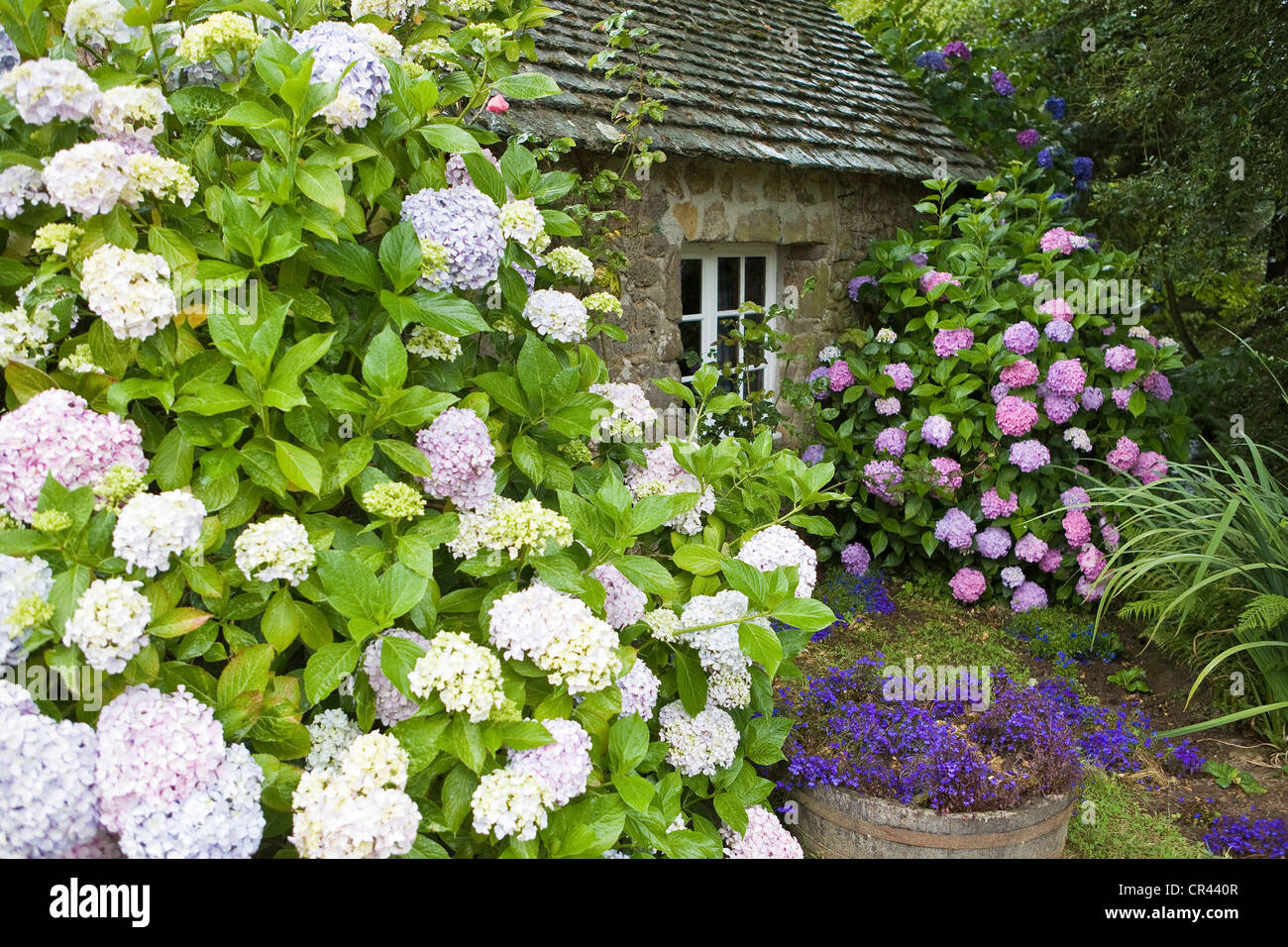 France, Manche, Cotentin, La Hague, Omonville la Petite, hydrangeas and stone house - Stock Image