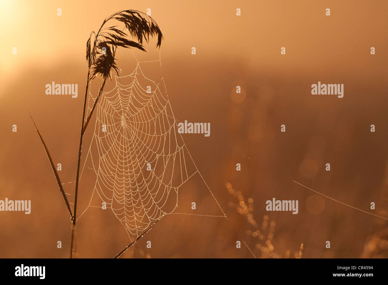 Spider web on blade of grass - Stock Image