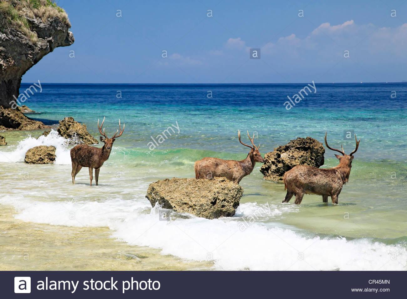 Javan Rusas or Sunda Sambars (Rusa timorensis) on the beach, Menjangan, Bali, Indonesia, Southeast Asia - Stock Image