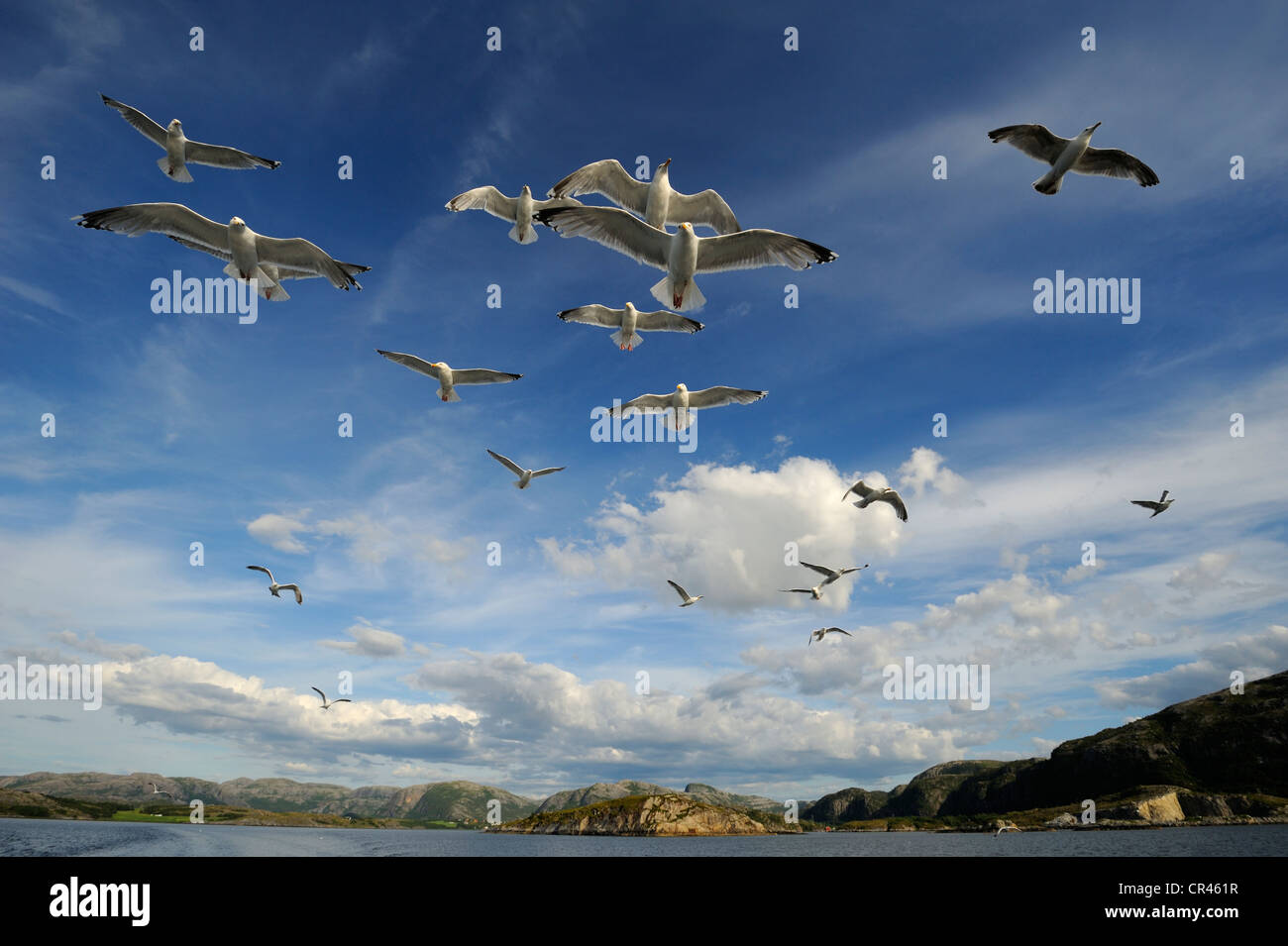 European Herring gulls (Larus argentatus) and Common Gulls or Mew Gulls (Larus canus), flying, Norwegian coastline, - Stock Image