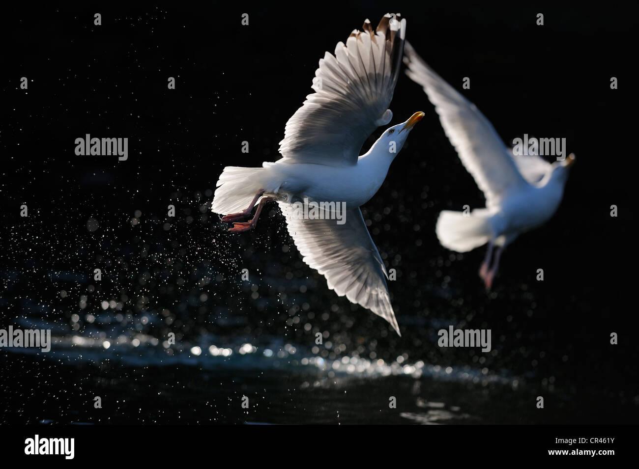 European Herring Gulls (Larus argentatus) flying over water, backlight, Flatanger, Nordtrondelag, Norway, Scandinavia, - Stock Image