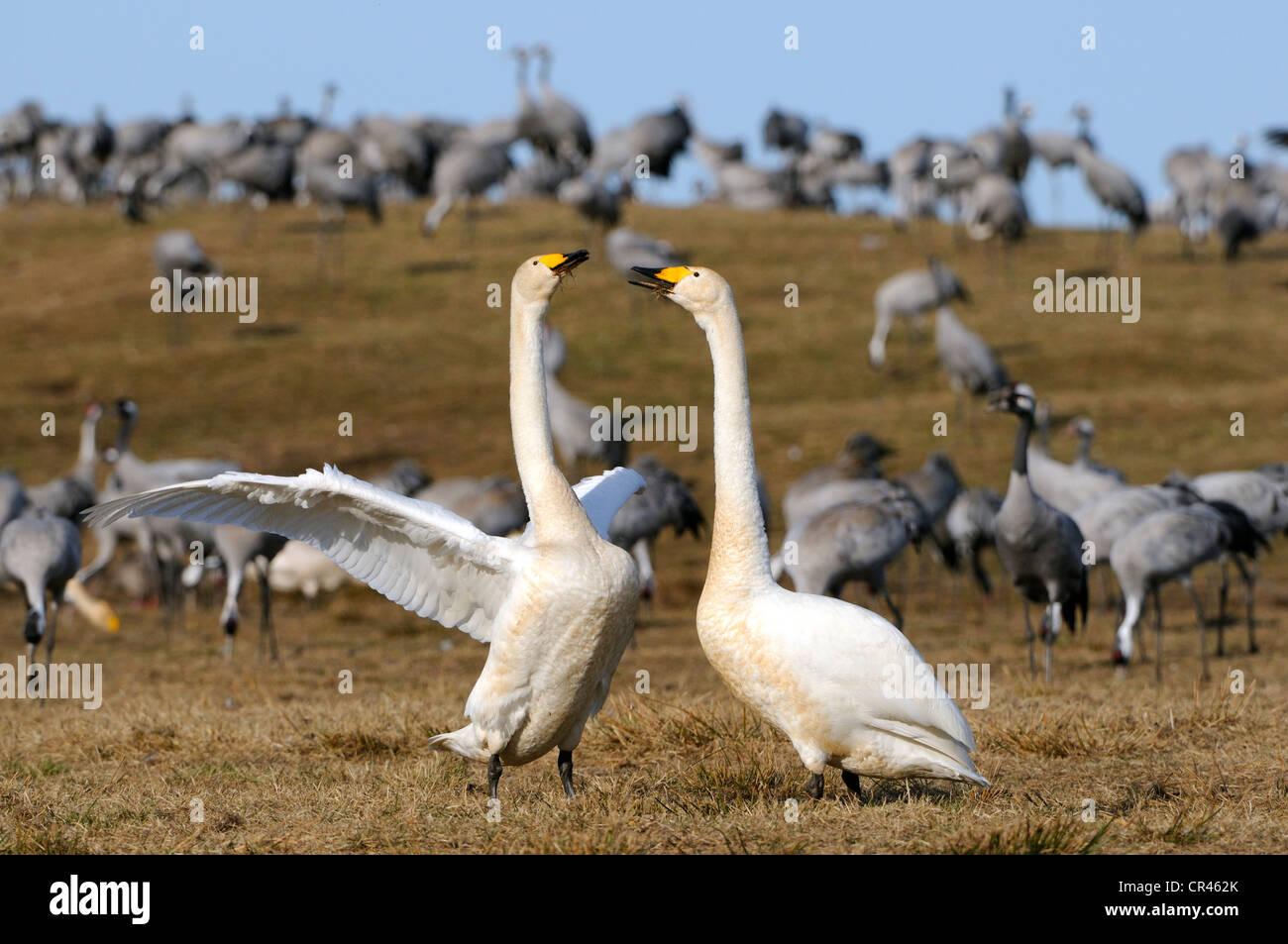 Whooper swans (Cygnus cygnus), courting breeding pair, and cranes (Grus grus), Hornborgasjoen, Vaestergoetland, - Stock Image