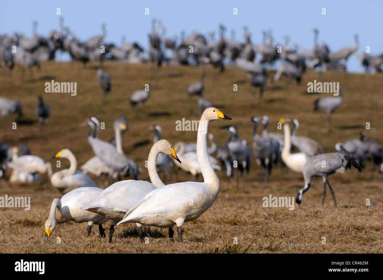 Whooper Swans (Cygnus cygnus) and cranes (Grus grus), rest area, Hornborgasjoen, Vaestergoetland, Sweden, Scandinavia, - Stock Image
