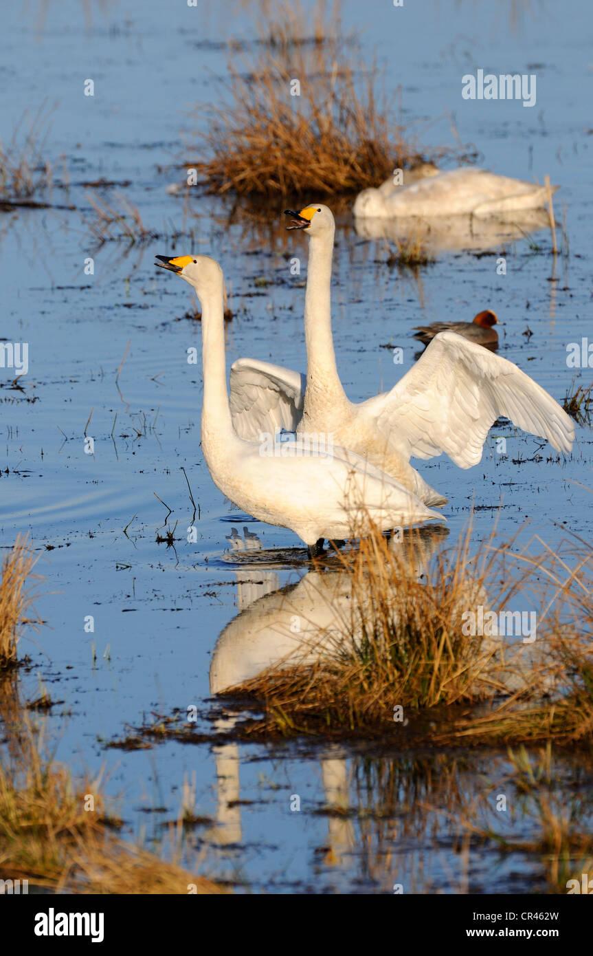 Whooper swans (Cygnus cygnus), courting breeding pair, Hornborgasjoen, Vaestergoetland, Sweden, Scandinavia, Europe - Stock Image