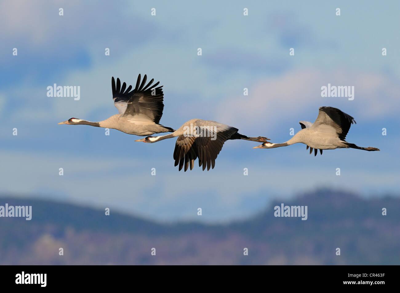Common or Eurasian Cranes (Grus grus), crane family in flight, Lake Hornborga, Hornborgasjoen, Vaestergoetland, - Stock Image