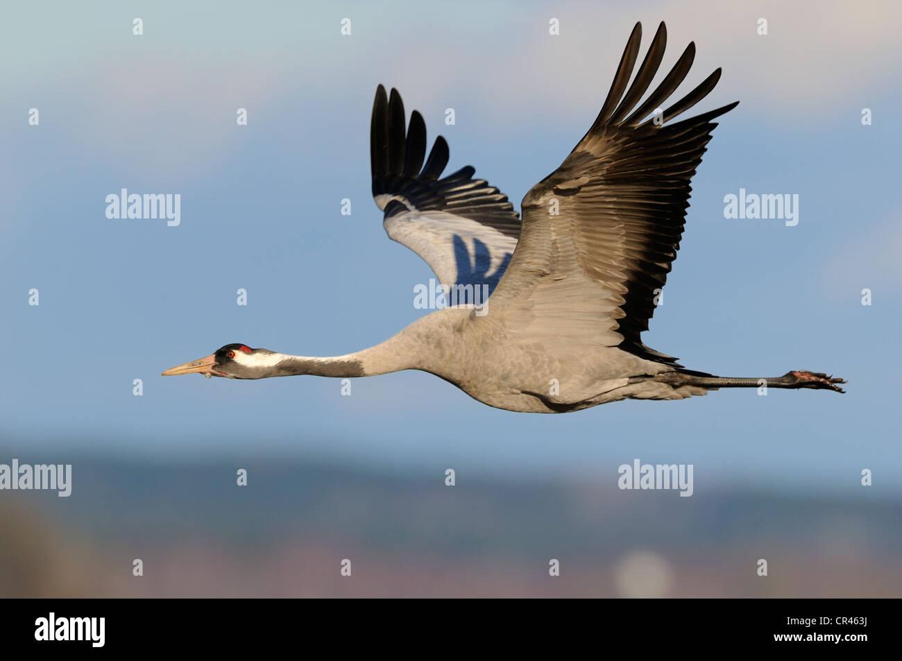Common or Eurasian Crane (Grus grus), in flight, Lake Hornborga, Hornborgasjoen, Vaestergoetland, Sweden, Scandinavia, - Stock Image