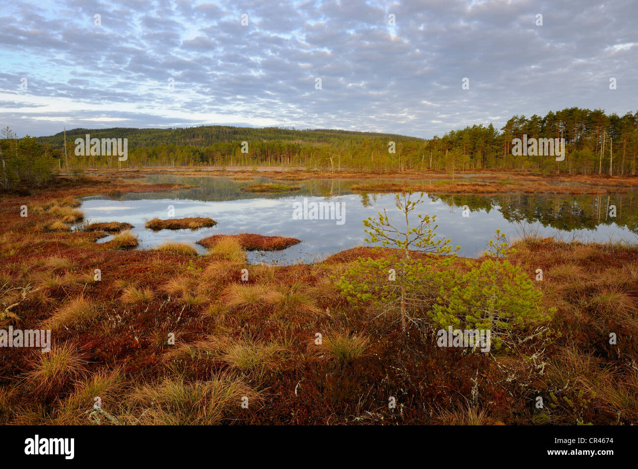 Swamp in the morning, Dalarna, Sweden, Scandinavia, Europe Stock Photo